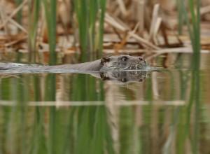 Otter Zwemt
