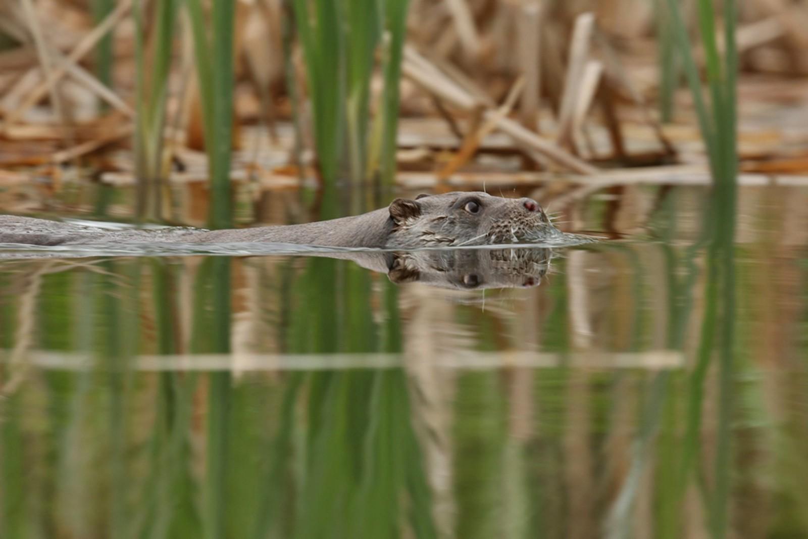De bescherming van de otter in Friesland