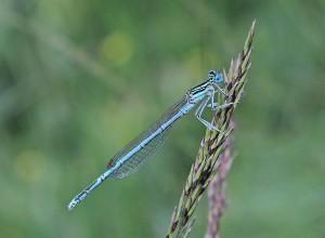 Blauwe breedscheenjuffer
