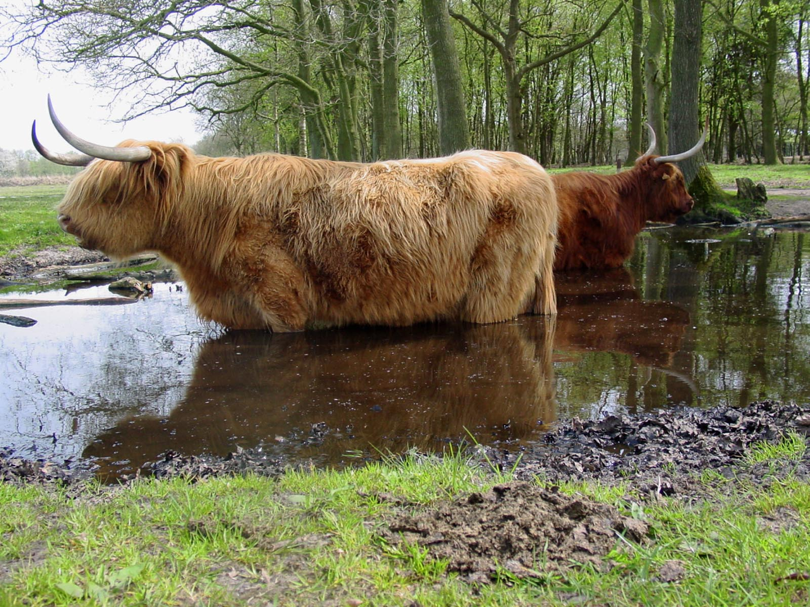 Schotse hooglanders in Ketliker Skar