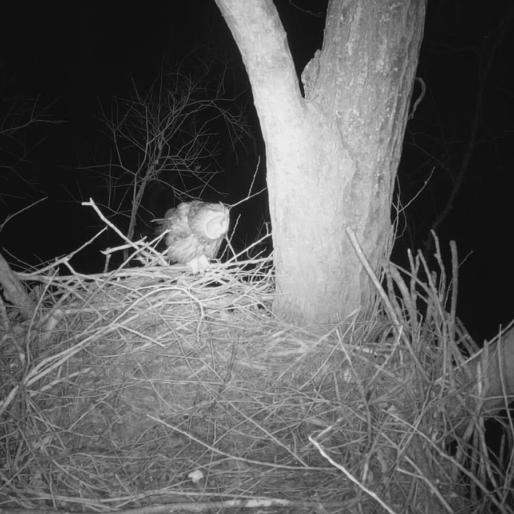 Uil op zeearend nest