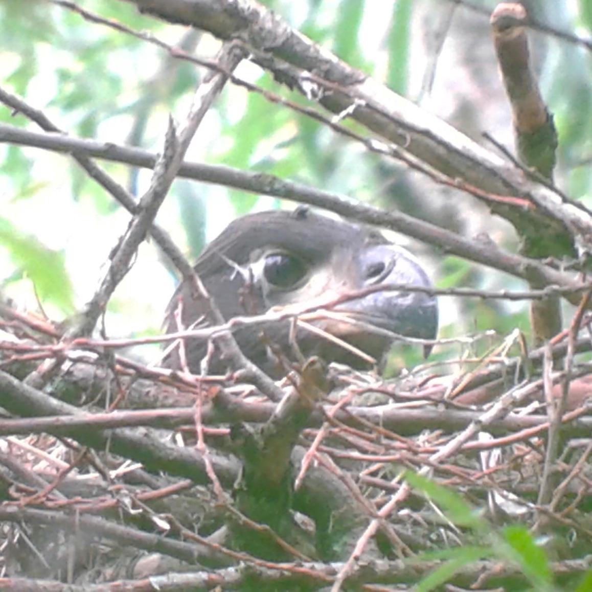 Zeearend op nest in It Fryske Gea