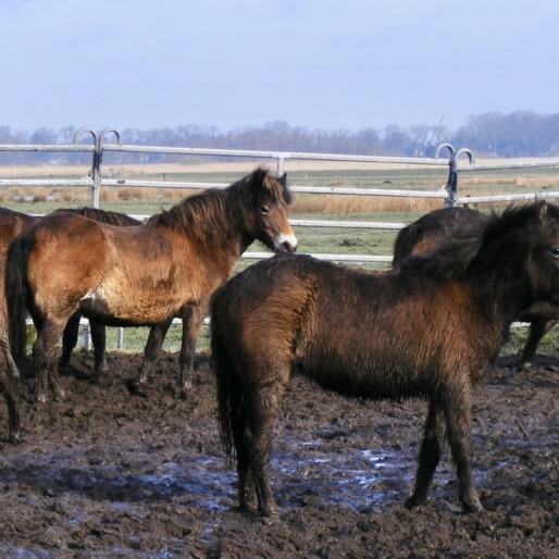 exmoorpony's in It Fryske Gea