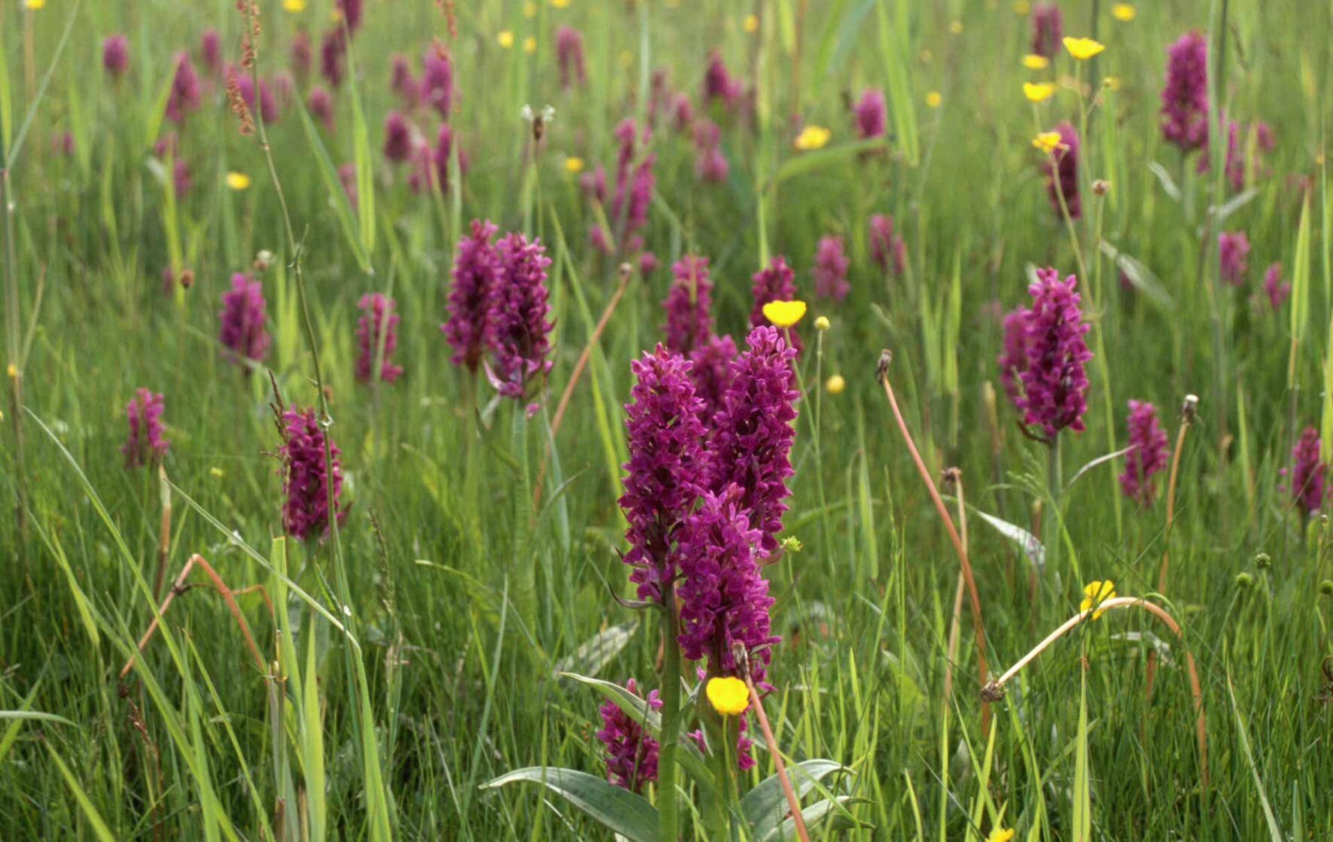 Orchideeen in It Fryske Gea