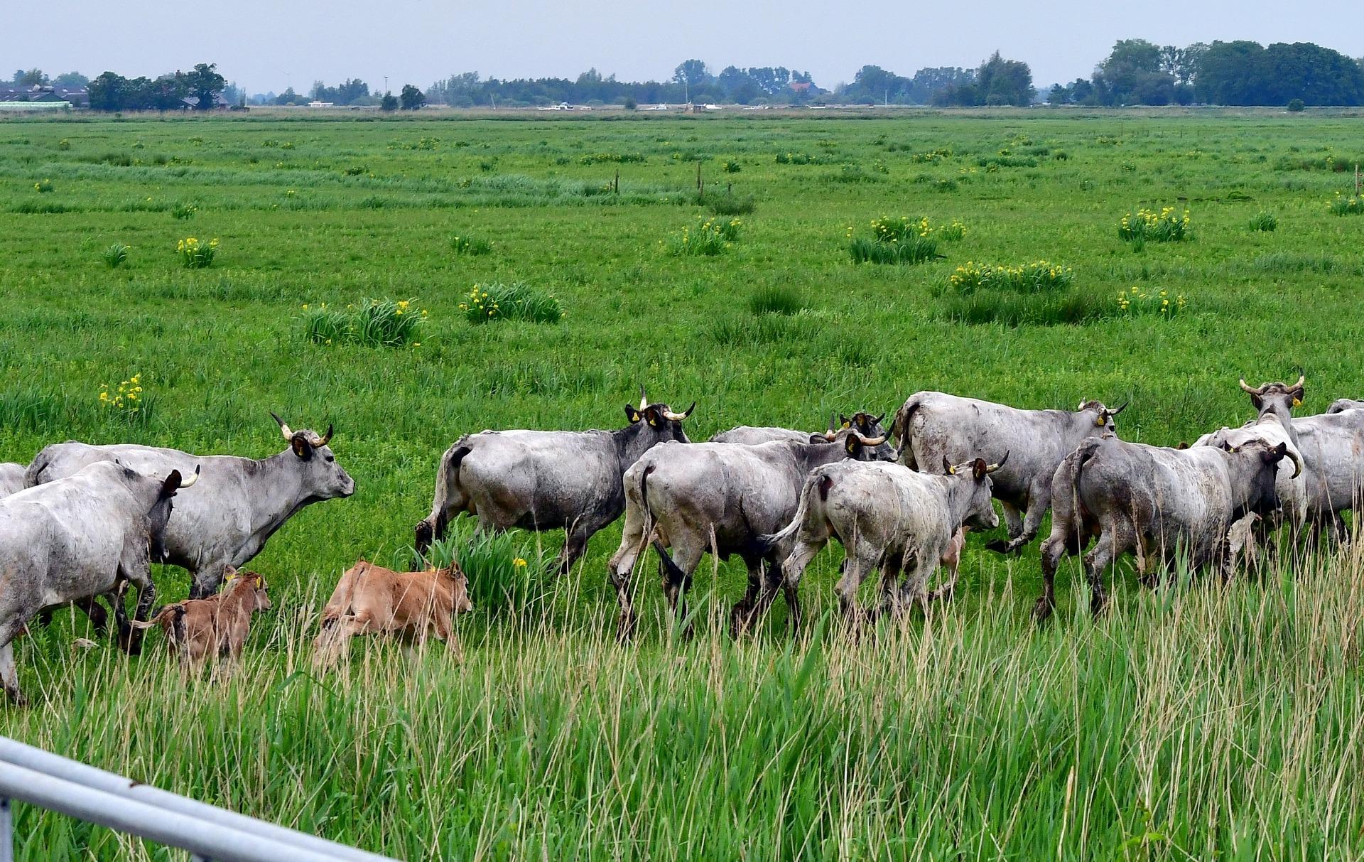 gascoigne koeien in It Fryske Gea