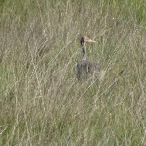 kraanvogel Delleboersterheide