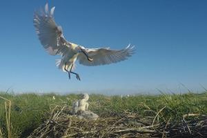 Lepelaar landt op nest