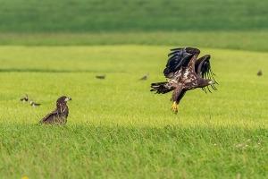 Zeearend in Nationaal Park De Alde Feanen (foto S. De Vries)