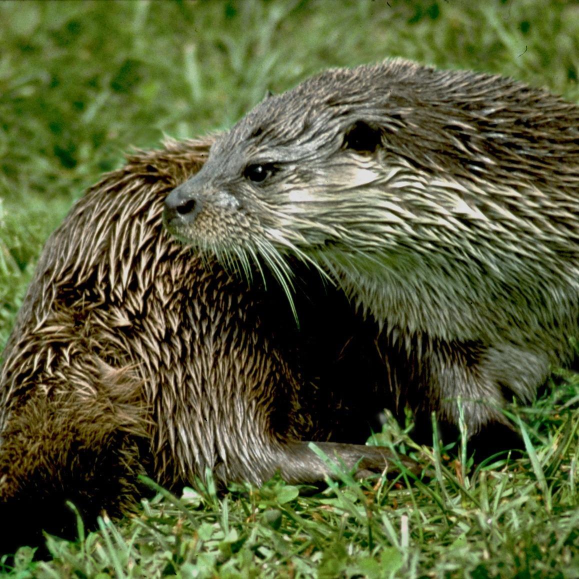 Otter It Fryske Gea