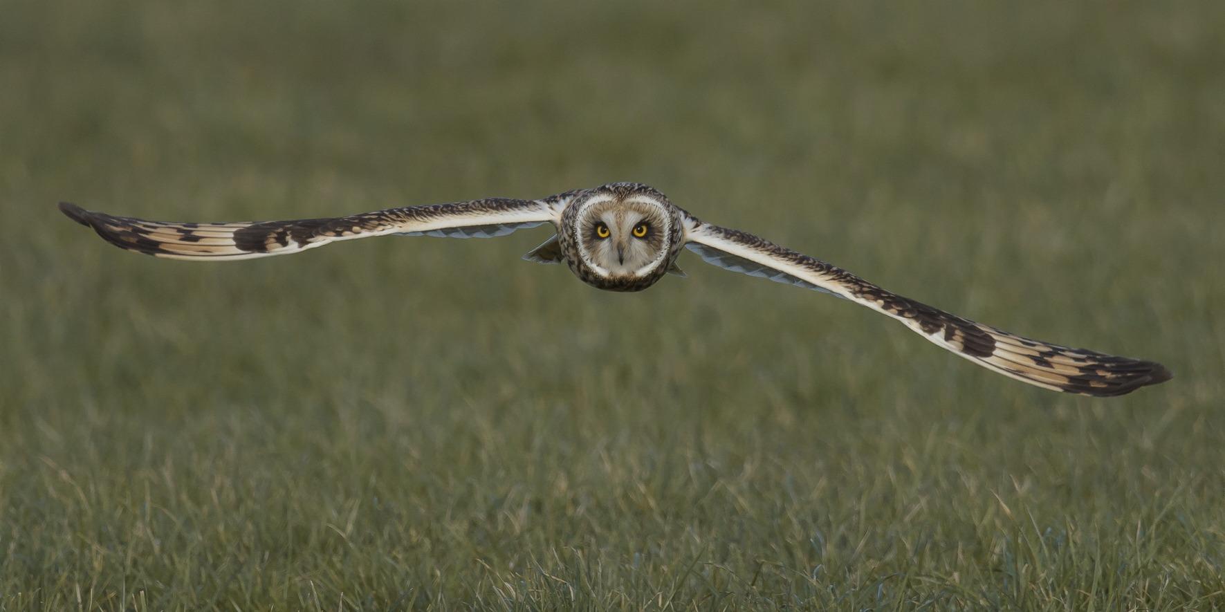 Vliegende velduil boven gras