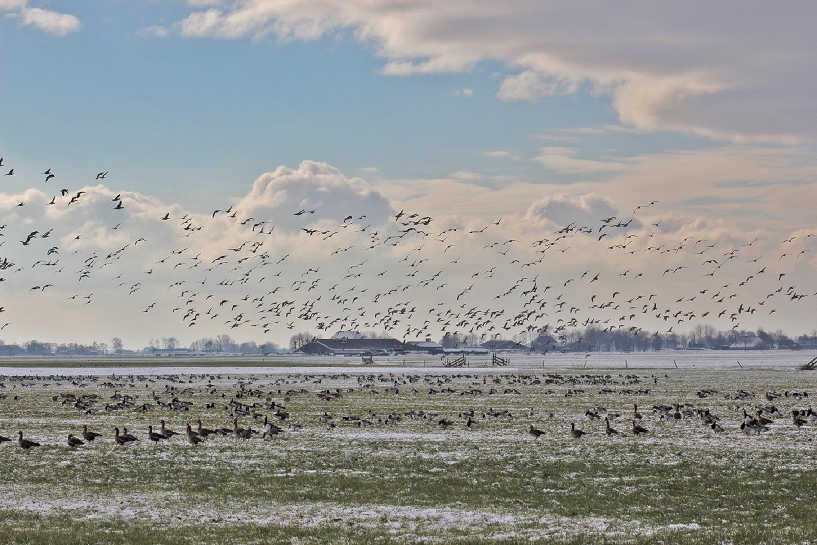 Grote groep ganzen in de winter