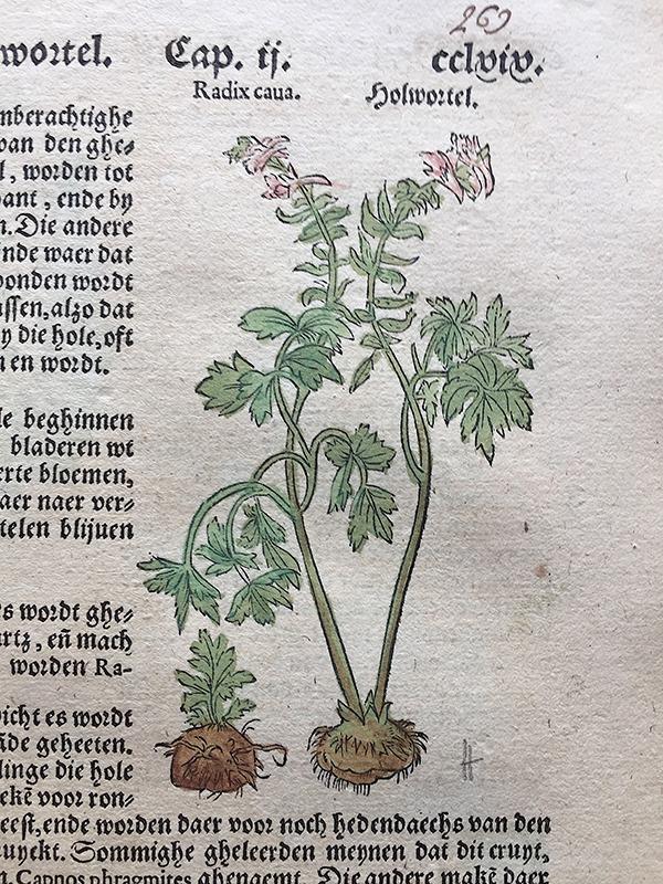 Dodonaeus, Cruijdeboeck, Antwerpen,1563 Holwortel