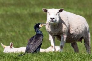 Aalscholver tussen schaapjes in de wei