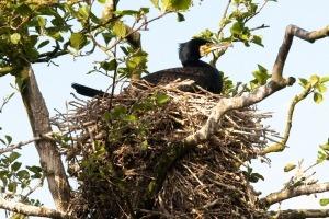 Broedende aalscholver op nest