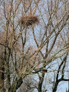 Zeearend nest in de polder met rechtsonder het mannetje op een tak (25-02-2020)