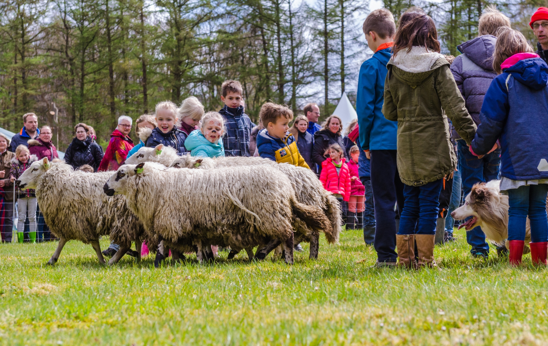 schapen drijven It Fryske Gea