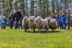 Daar staan ze hoor, onze schapen!