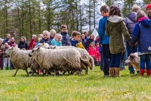 Demonstraties van schapen drijven
