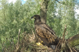 zeearendjong op het nest