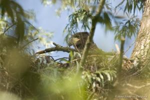 zeearend-jong op nest