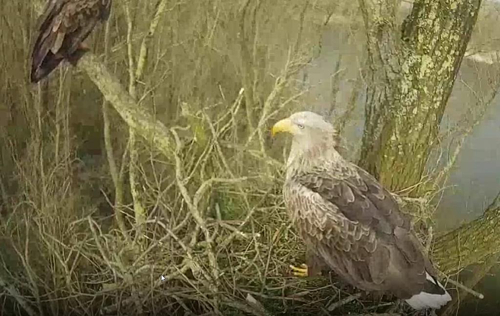 De zeearend wacht op partner op nest