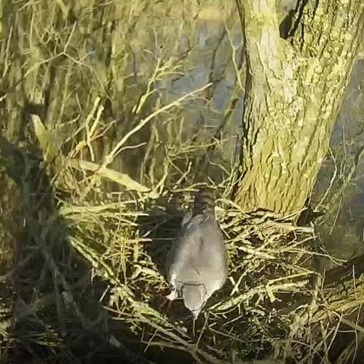 De havik is nest aan het bouwen