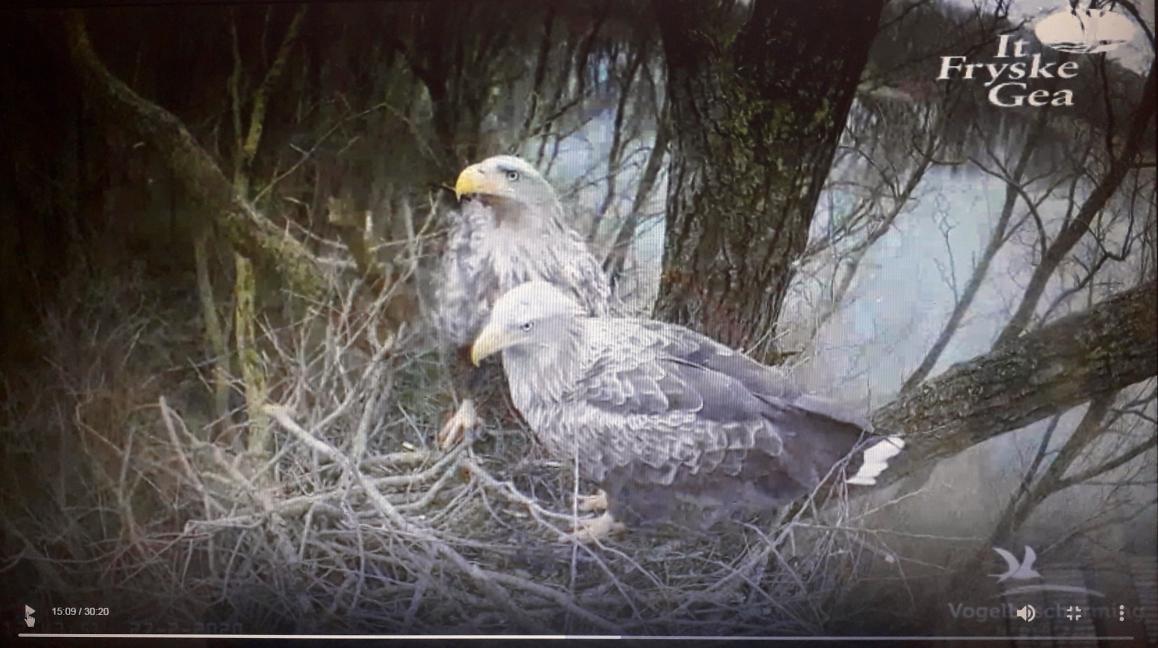 Het zeearendspaar op het 'oude' nest (screenshot van de webcambeelden van (25-02-2020)