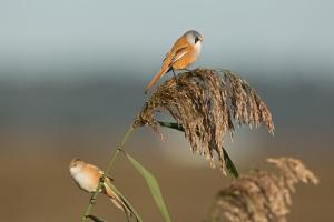 Fraai getekende zangvogel van uitgestrekte rietvelden.