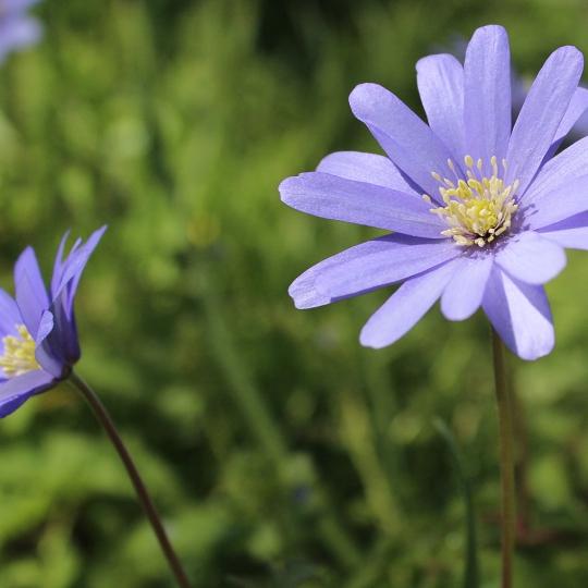 Blauwe anemoon