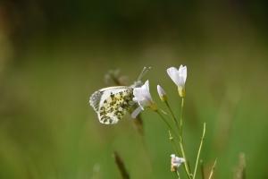 ontpopte vlinder