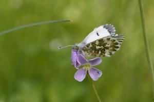 vleugelonderkant met een bijna een gemarmerd geelgroen patroon