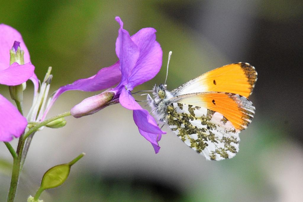 mannetjesvlinder drinkt nectar