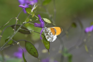 mannetjesvlinder met fel oranje vleugelpunten