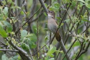 Kleine zangvogel die een verborgen leven leidt tussen het riet, zoekende naar spinnetjes en insecten.