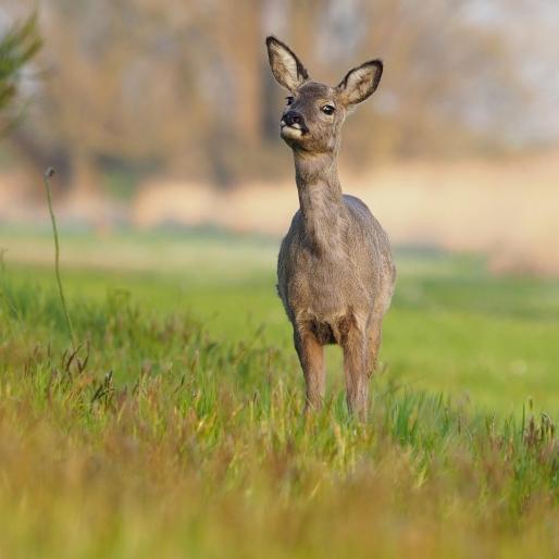 Ree in het Murnzerklif (fotograaf: R. Meurs)