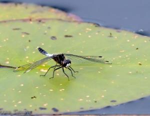 Sierlijke witsnuitlibel in Ottema Wiersmareservaat (fotograaf: J. Seinstra)