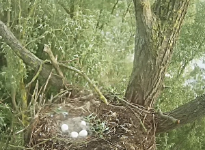 Eieren In Webcamnest Nijlganzen
