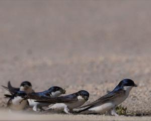 huiszwaluwen langs waterkant