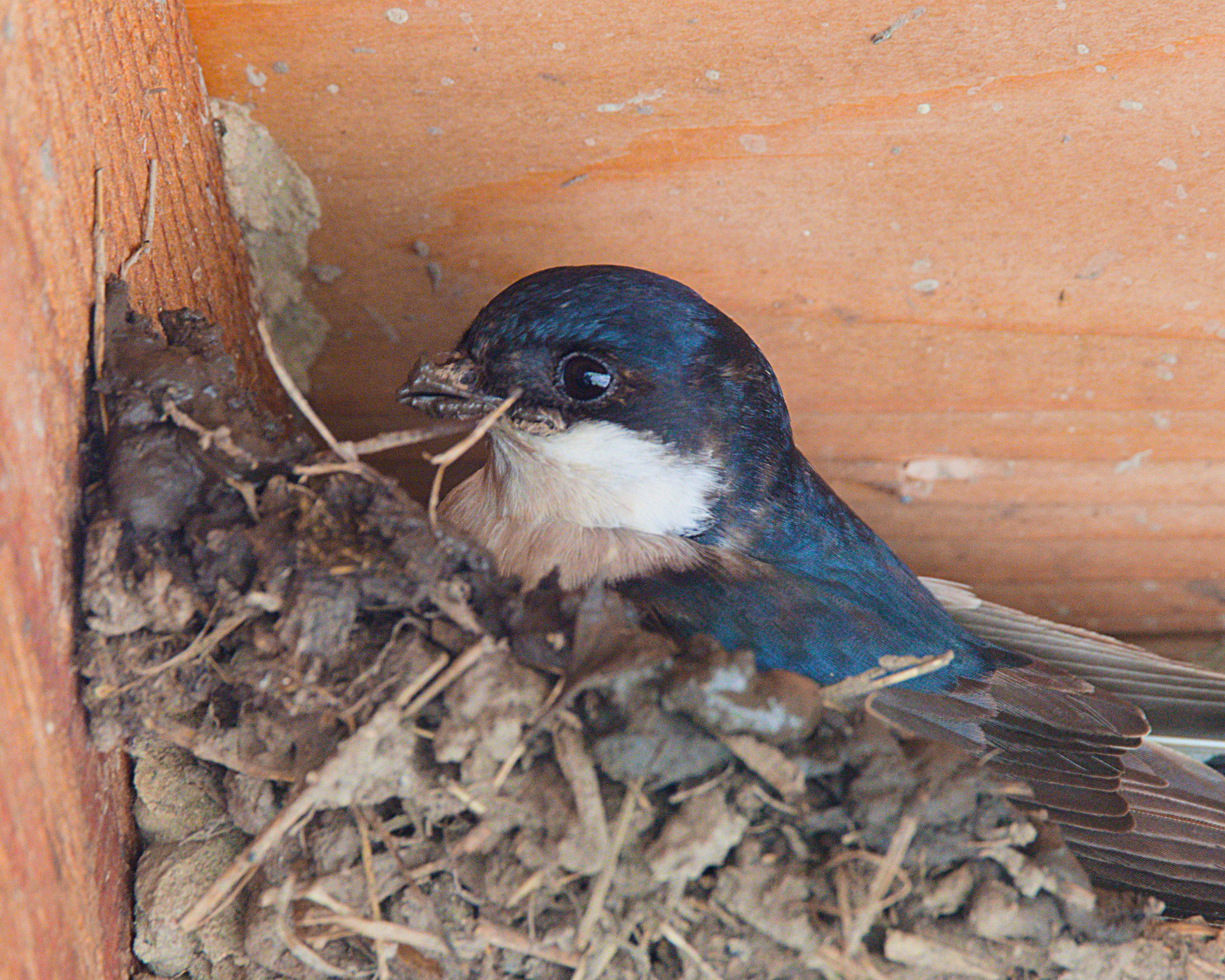 huiszwaluw jong op nest