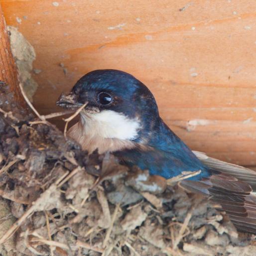 Foto van Huiszwaluw In Nestkast