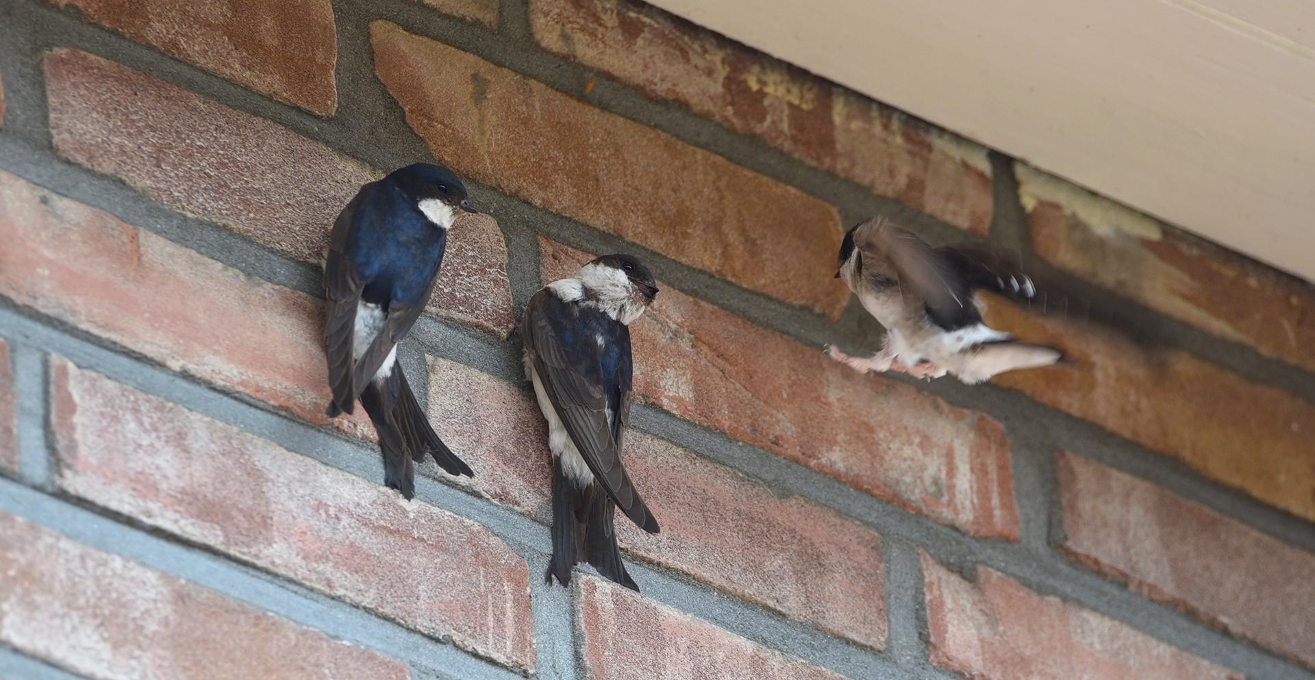 Huiszwaluwen Aan De Muur