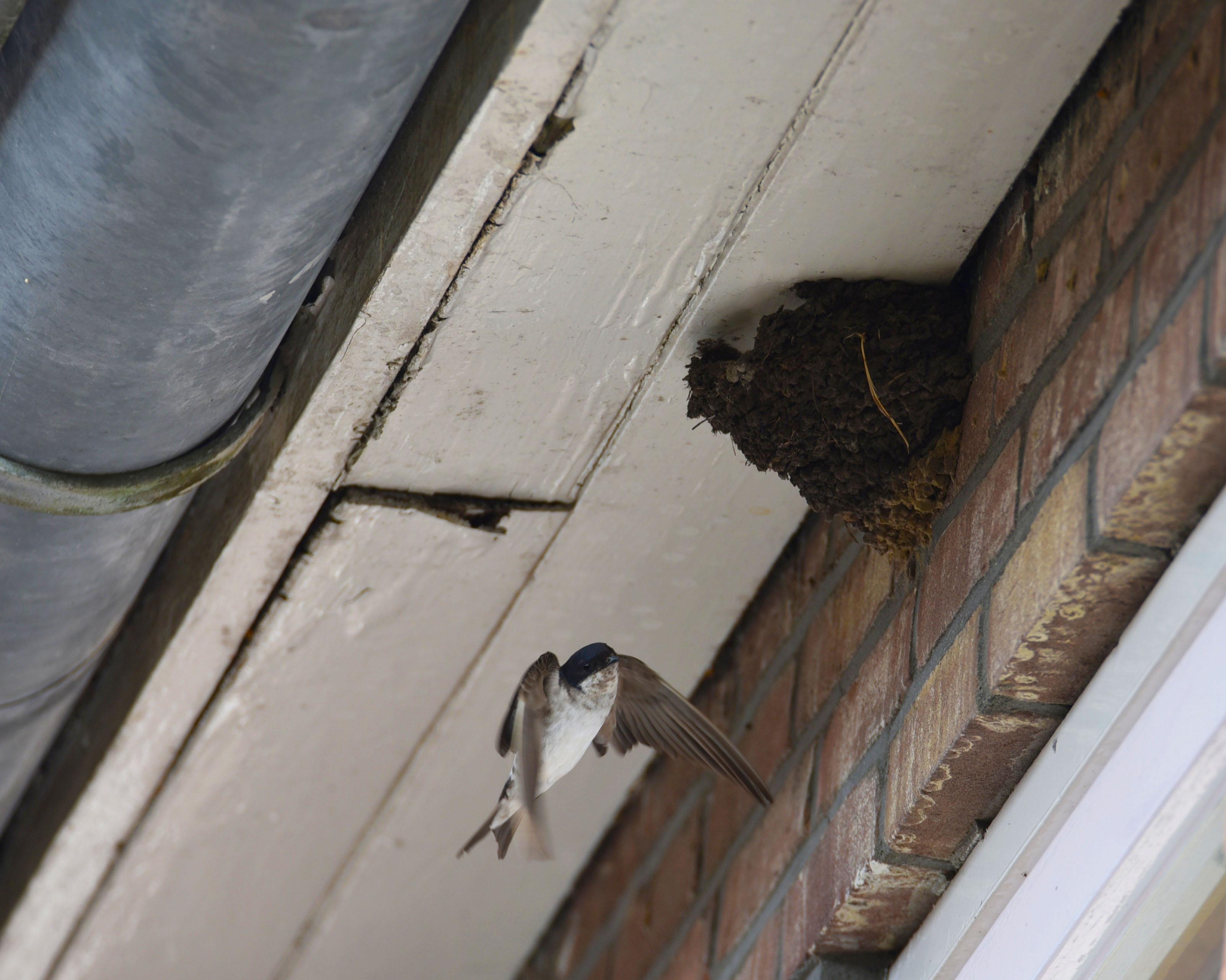 huiszwaluwnest aan huisgevel