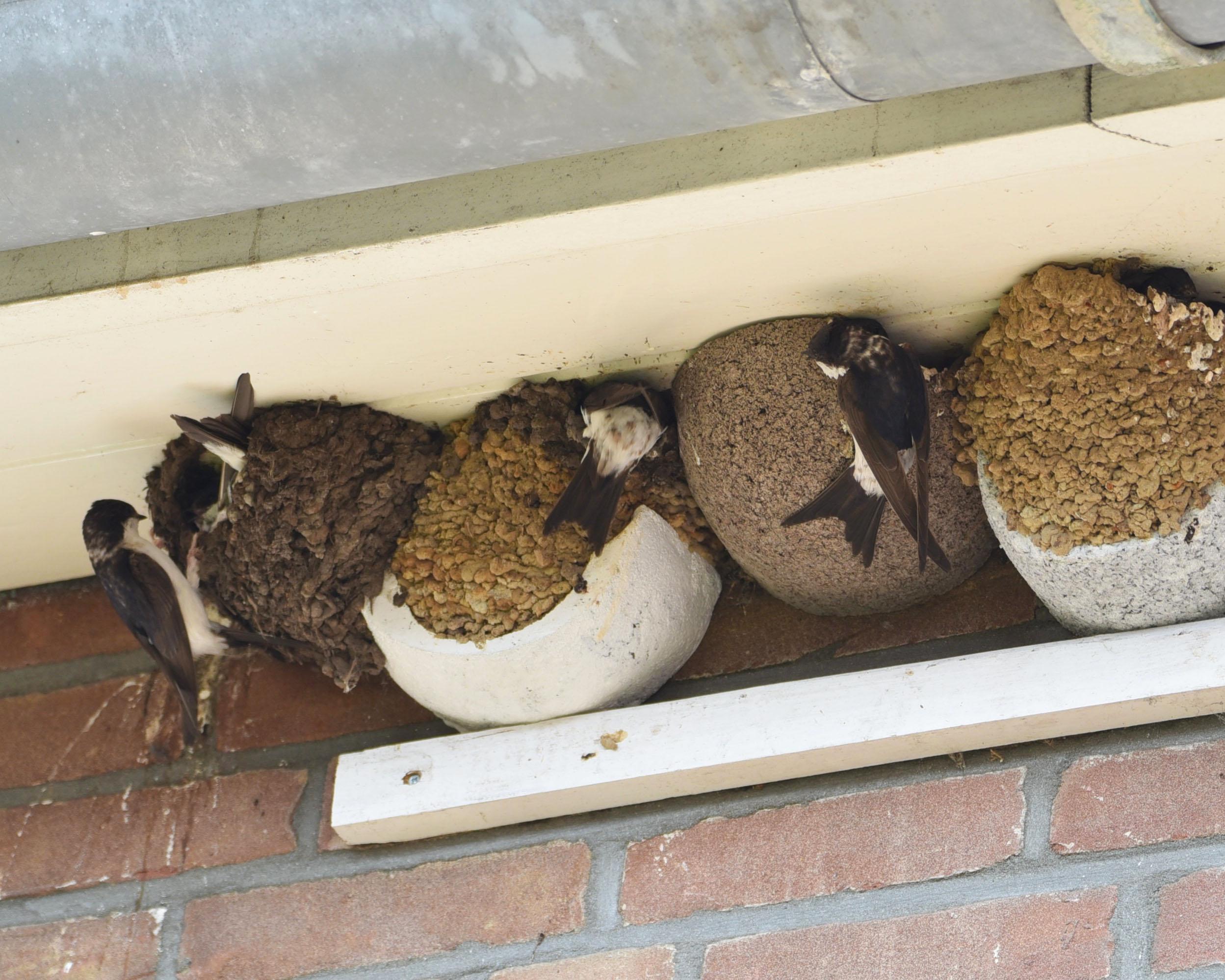 Huiszwaluwen die nestmateriaal lenen