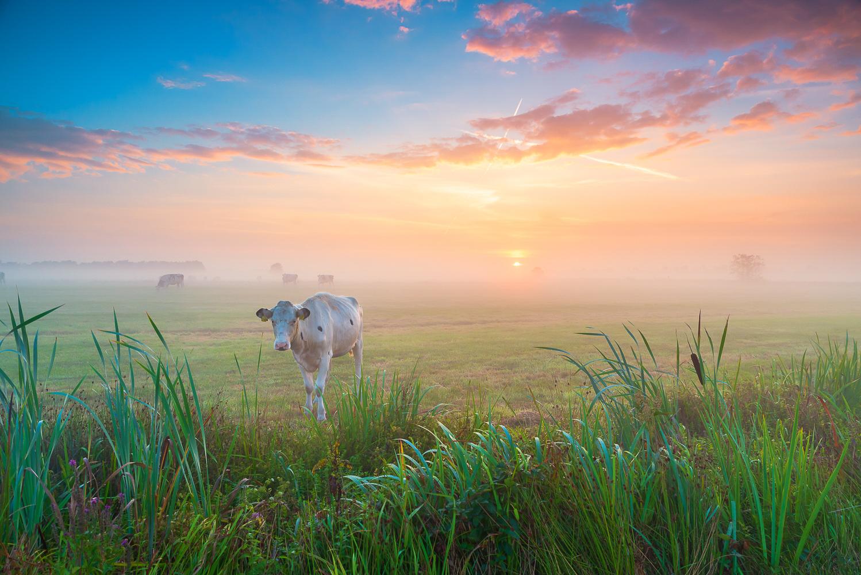 Ook 'Koeien in de mist' door Taede Smedes