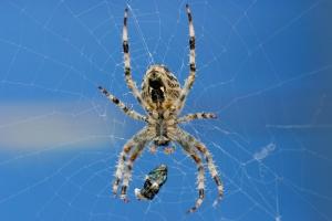 Kijk! Wat zit er voor prooi in het web van deze Kruisspin?