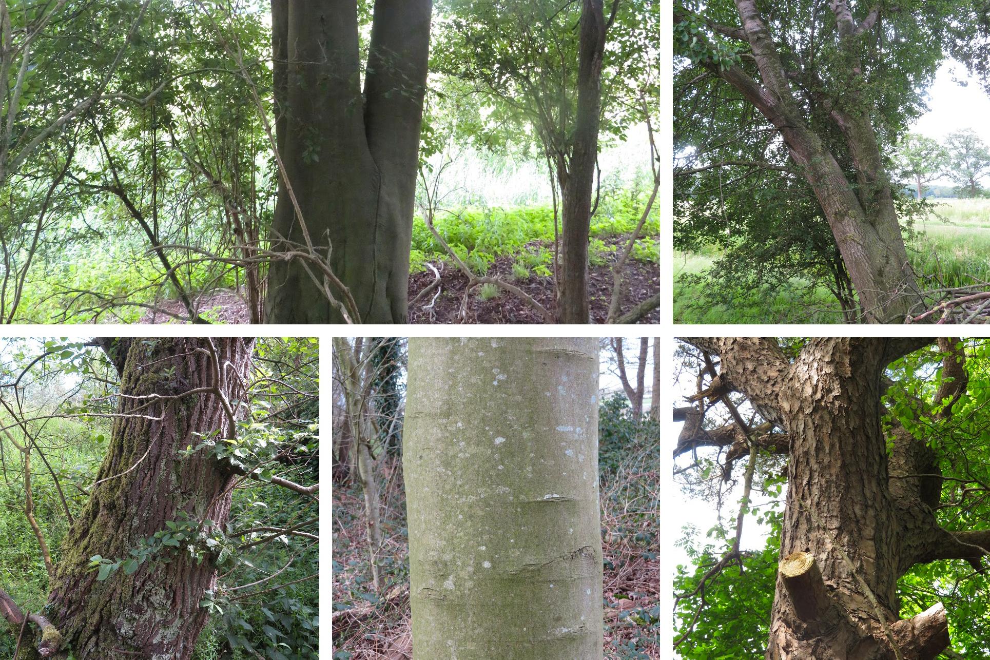 dikke bomen in Tsjongerwalen