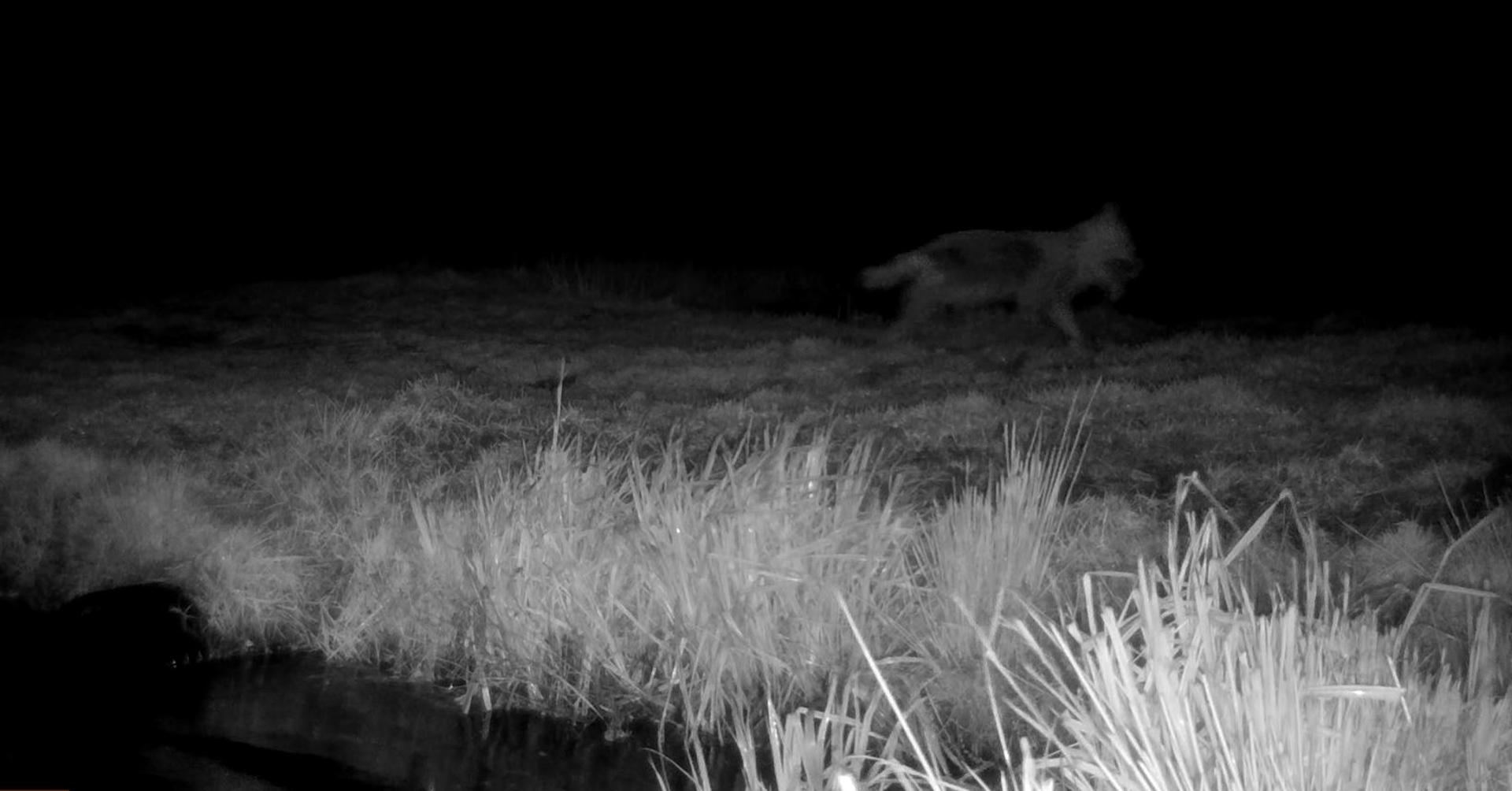 Wolf in de Alde Feanen
