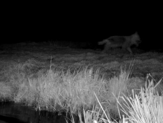 Wolf in It Fryske Gea