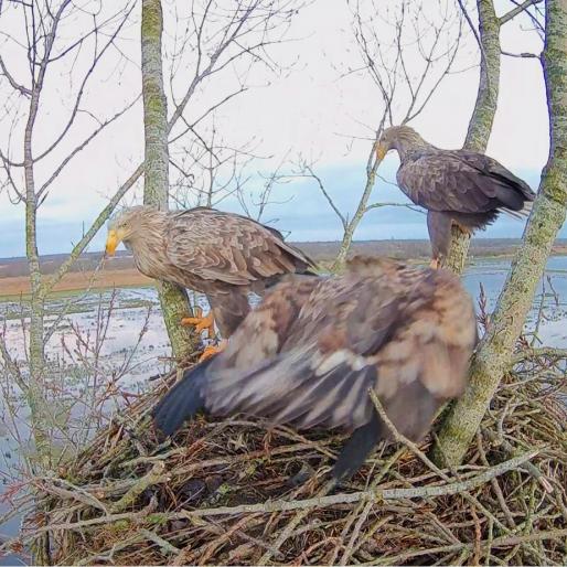 Zeearend Nest Alde Feanen