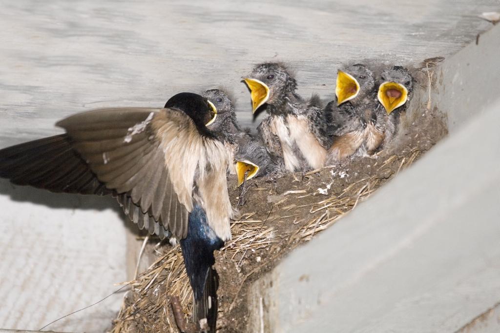 Boerenzwaluw nest